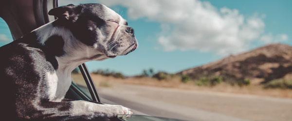 Perro disfrutando del aire