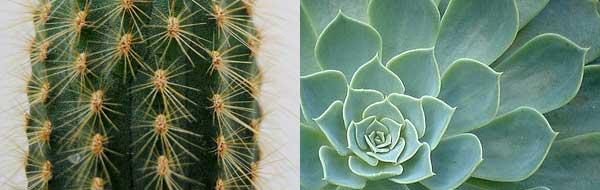 cactus y suculenta